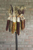 Multi Colored Indian Corn Hanging on a Pitchfork — Stock Photo