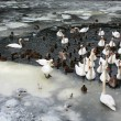 Stock Photo: Waterfowl