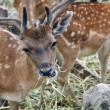 Stock Photo: Spotted deer