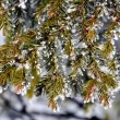 Frost on a Pine Tree — Stock Photo