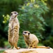 Meercat pair — Stock Photo #9415347