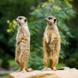 Stock Photo: Meercat pair