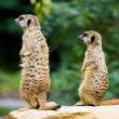 Meercat pair — Stock Photo #9415404