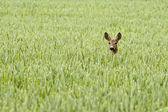 Deer in a field — Stock Photo