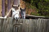 Horses in Topesti in Romania — Stock Photo
