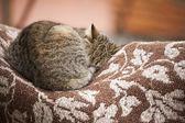 Cat in Topesti in Romania — Fotografia Stock