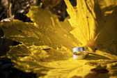 Wedding rings on gold leaves — Stock Photo