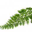 Fern Frond — Stock Photo #10227113