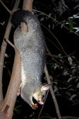 Brushtail Possum — Stock Photo
