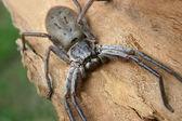 Australian Huntsman Spider — Stock Photo