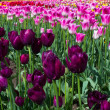 Purple tulips with pink tulips in backgrond — Stock Photo