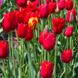 Group of red tulips with a single yellow — Stock Photo #10349412