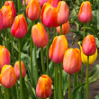 A group of colorful orange tulips — Stock Photo #10349420