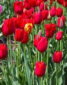 Grupo de tulipanes rojos con un solo amarillo — Foto de Stock