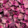 Stock Photo: Red leaves of coleus plant