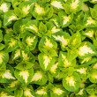 Stock Photo: Display of coleus plants with green and white leaves