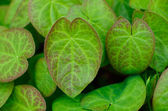 Epimedium leaves — Stock Photo