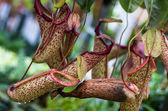 Carnivorous pitcher plant with pitchers — Stock Photo