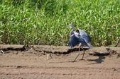 Great blue heron landing in swamp — Stock Photo