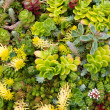 Sedum plants — Stock Photo #9212279