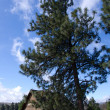 Pioneer log cabin beneath Ponderosa Pine — Stock Photo