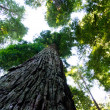 Stock Photo: Towering CaliforniRedwood trees