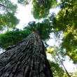 Towering California Redwood trees — Stock Photo