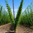 Stock Photo: Hop plants on trellis