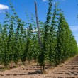 Hop plants on trellis — Stock Photo