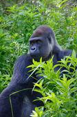 Gorilla staring into jungle — Stock Photo