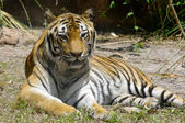 Tiger relaxing — Stock Photo