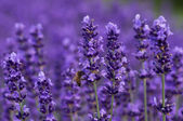 Honey bee on lavender — Stock Photo