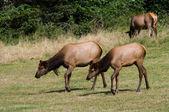 Elk grazing — Stock Photo