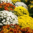 Chrysanthemum flowers in full bloom — Stock Photo #9393406