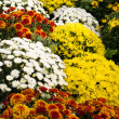 Stock Photo: Chrysanthemum flowers in full bloom