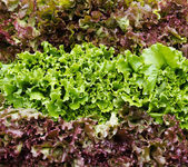 Red and green leaf lettuce on display — Stock Photo