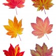 Colorful assortment of Vine Maple Leaves — Stock Photo #9470440