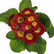 Red and yellow flowering primrose — Stock Photo #9471401