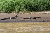 Pair of American Crocodiles sunning on a river beach — Stock Photo