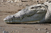 American Crocodile on the beach — Stock Photo