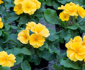 Group of yellow primroses in bloom — Stock Photo