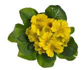 Yellow primose isolated on white — Stock fotografie