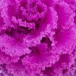 Red ornamental kale with frilly leaves — Stock Photo
