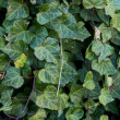 Invasive plant English Ivy — Stock Photo