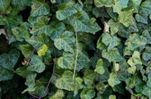Invasive plant English Ivy — Stock Photo