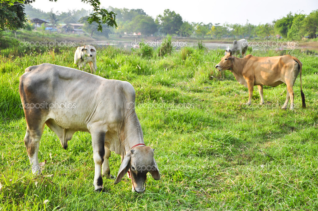 White cow on the field plants in country of Thailand — Stock Photo #10087182