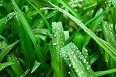 El rocío sobre la hierba verde — Foto de Stock