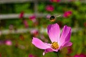 Hommel vliegen in de buurt van de bloem — Stockfoto