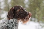 German wire-haired pointer — Stock Photo