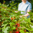 Woman and redcurrant — Stock Photo #9313524